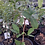 Thumbnail: Wax Apple Fruit Tree - 7 Gal - 4 Feet Tall