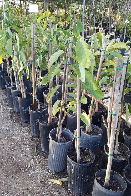 Atemoya - Grafted Tree - 3 Feet -  5 Gal