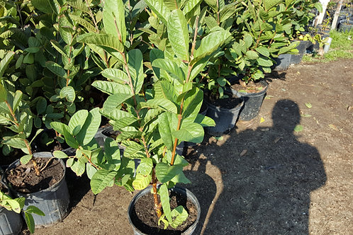 Vietnamese Giant Guava - White Flesh - 2 Feet -  3 Gal