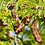 Thumbnail: Sweet Tamarind Trees - Airlayered Tree - 2 to 3 Feet Tall