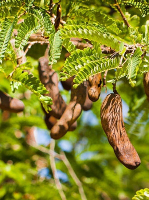Sweet Tamarind Trees - Airlayered Tree - 2 to 3 Feet Tall