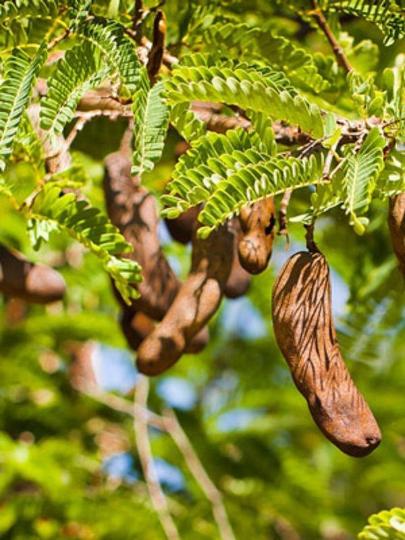 Tamarind Tree Images