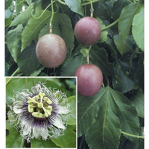 Purple Passion Fruit - 1 Plants - 3 to 4 Feet Long - 5 Gal