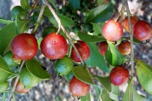 Strawberry Guava Red - Psidium cattleianum - 3 Feet Tall - 5 Gal
