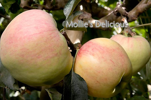 Apple Tree - 7 Gal - 5 Feet Tall