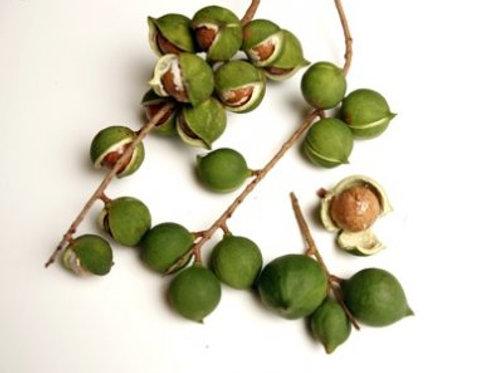 Macadamia Nut - Macadamia integrifolia - 15 Gal - 5 Feet Tall