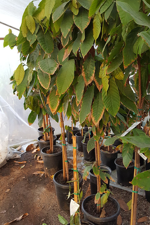 Chocolate Cocoa 'Cacao' Plant - 7 Feet Tall