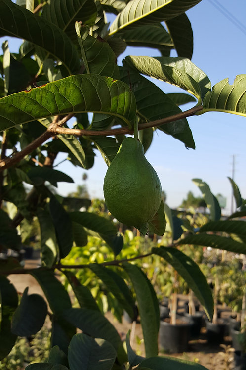 Tropial Guava Pink Flesh - 2 to 3 Feet -  5 Gal