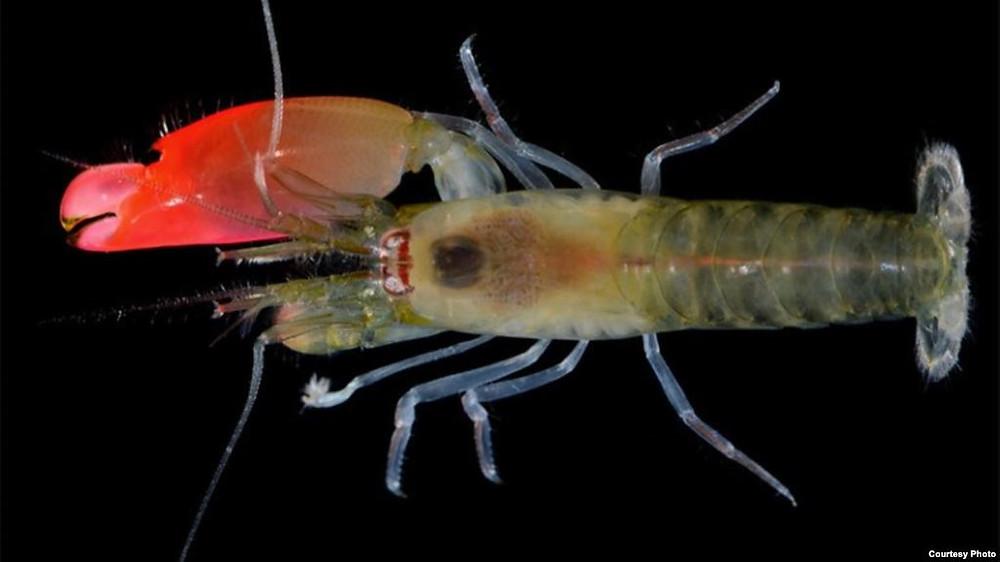 Pink Floyd Shrimp