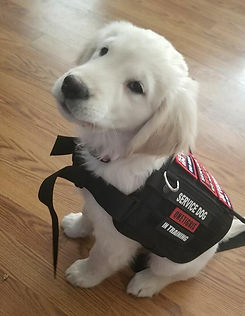 Nova Service Puppy In Training.jpg