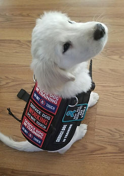 Nova Service Puppy In Training 2.jpg