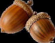 acorn 3.png