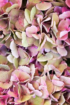 hortensia-flower-P4BLPER.jpg