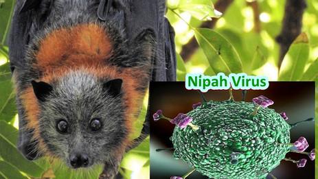 NIPAH – Transmission