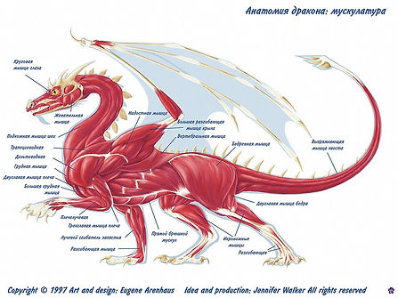 Анатомия драконов: мускулатура
