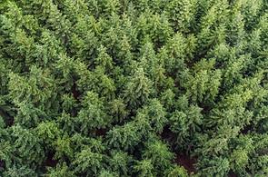 aerial-view-conifers-fir-trees-574190.jp