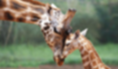 Second Chance Touring & Residential Park - Cotswold Wildlife Park Image of Giraffes