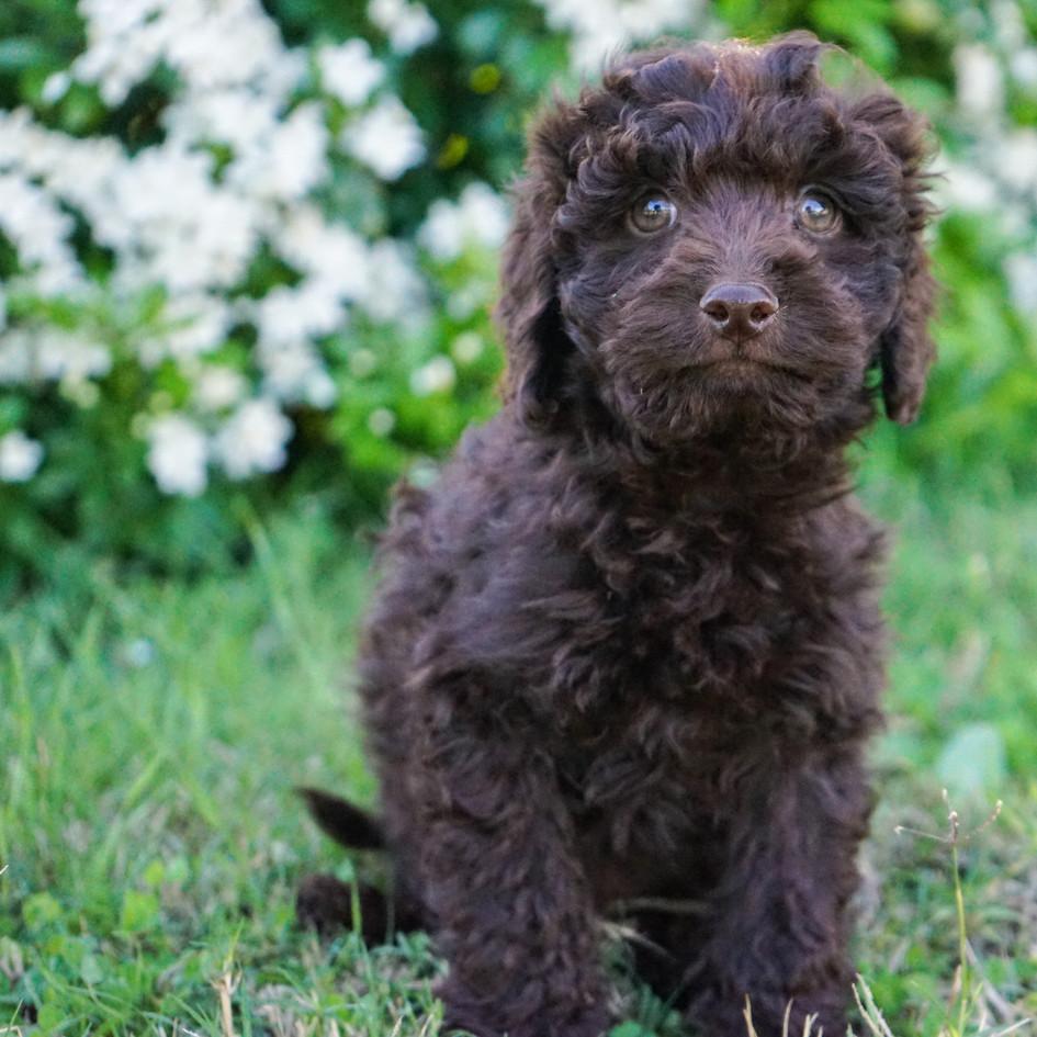 Chocolate Spoodle Cocker Spaniel X Poodle