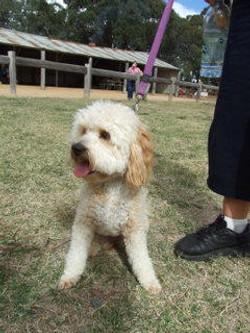 toy_puppies_designer_dogs_12.jpg