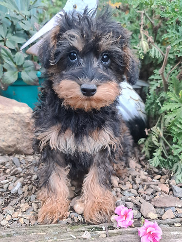 Schnoodle girl