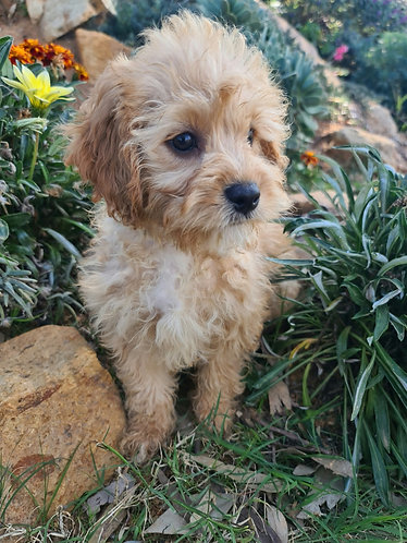 Cavoodle girl
