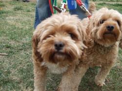 toy_puppies_designer_dogs_04.jpg