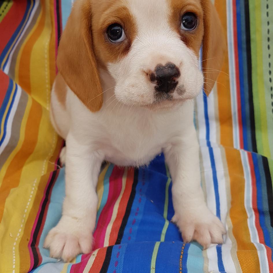 Beagle x Cavalier