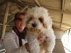 toy_puppies_designer_dogs_22.jpg