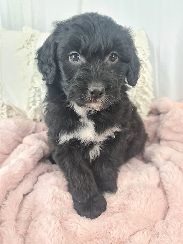 Aussieoodle girl
