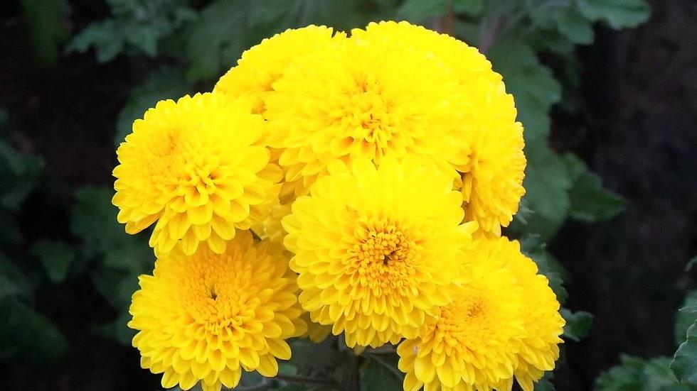 Chamanthi Yellow