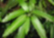 mango leaves.jpg