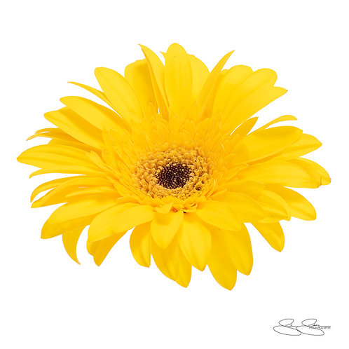 "Gerbera Daisy - Yellow_02 (30""x30"")"