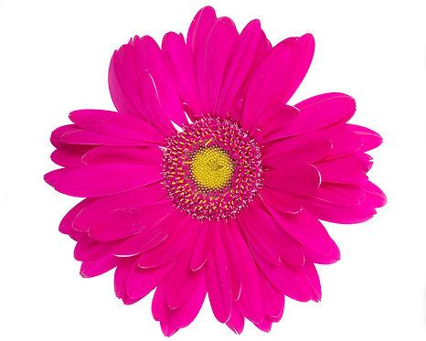 "Gerbera Daisy - Pink (30""x30"")"
