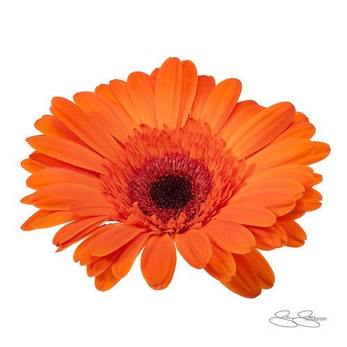 "Gerbera Daisy - Orange_02 (40""x40"")"