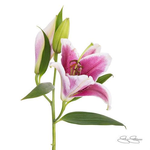 "Lily (30""x30"")"