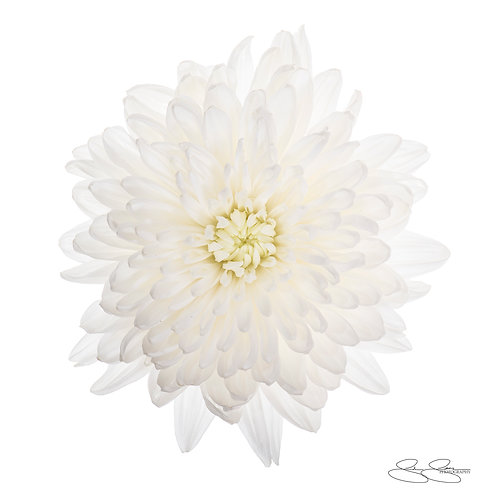 """White Chrysanthemum (30""""x30"""")"""
