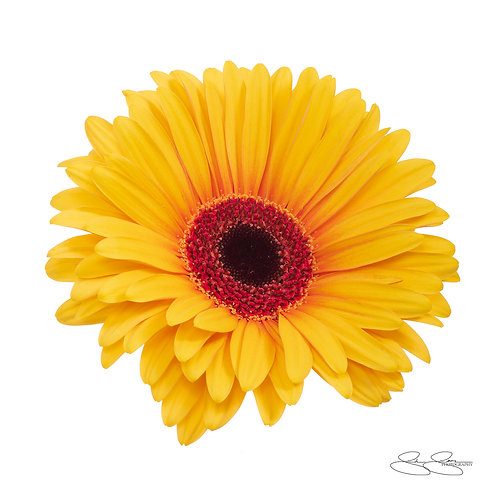 "Gerbera Daisy - Sunburst (40""x40"")"