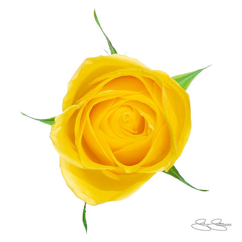 "Yellow Rose From Up Top (30""x30"")"