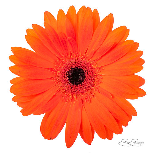 "Gerbera Daisy - Orange_04 (40""x40"")"