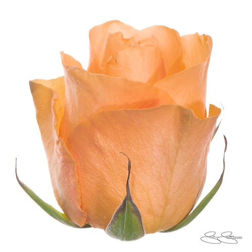 "Peach Rose (30""x30"")"