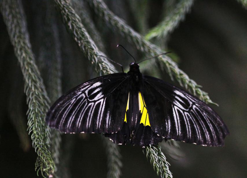 A Golden Birdwing