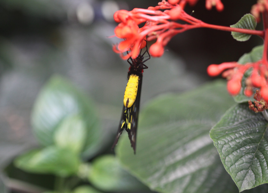 A Birdwing From Below