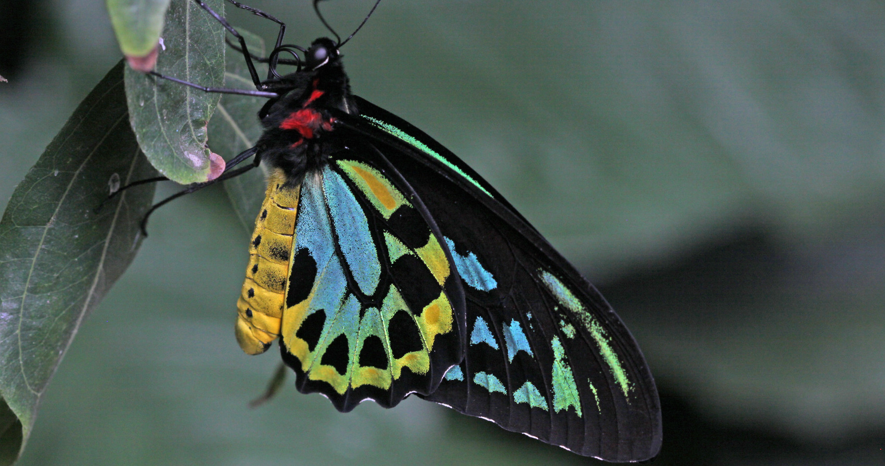 His Majesty, the Cairn's Birdwing