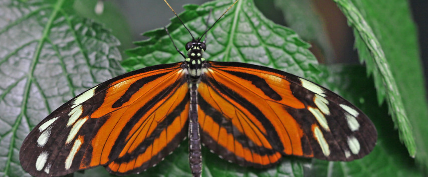 A Tiger Wing (Dorsal side)
