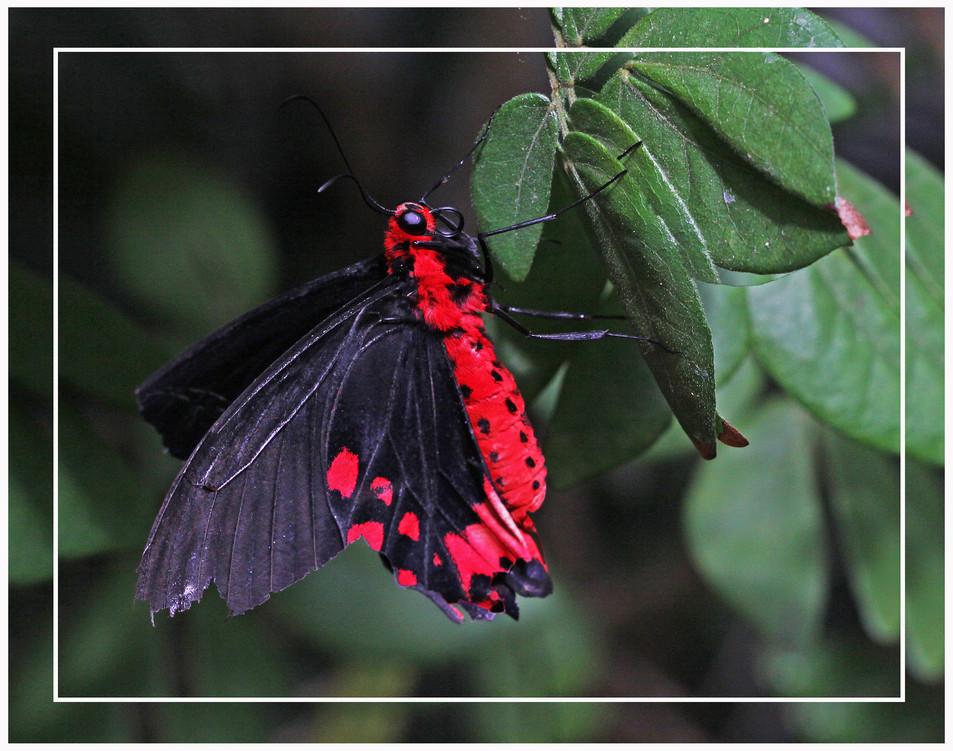 Bat Wing Swallowtails