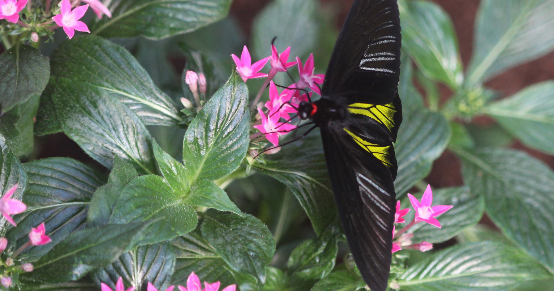 A Common Birdwing At Rest