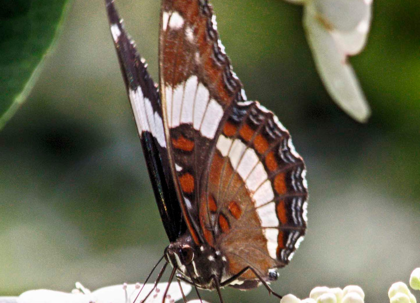 Another White Admiral