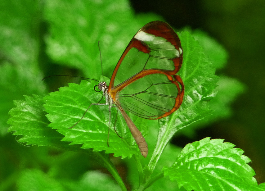 Another Glasswing