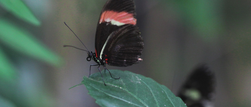 A Longwing Pose