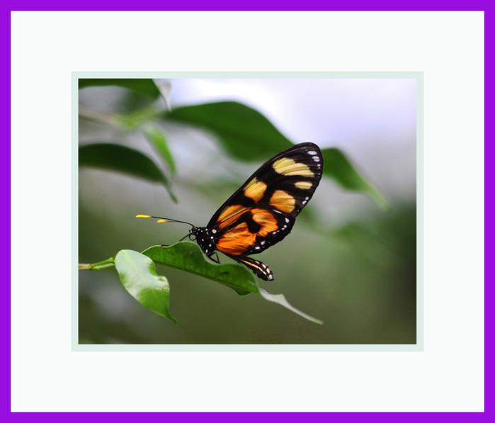 Amberwings